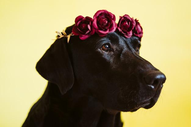 Ritratto di bello cane labrador nero che indossa una corona di fiori su sfondo giallo
