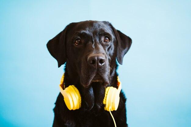 Ritratto di bello cane labrador nero che indossa cuffia avricolare gialla sopra fondo blu