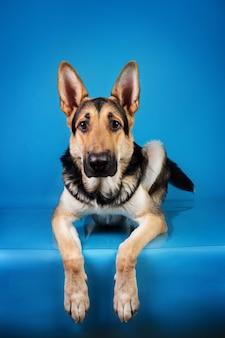 Ritratto di un bellissimo cane da pastore tedesco sdraiato su sfondo blu e che guarda l'obbiettivo. colpo dello studio. colore grigio e marrone.