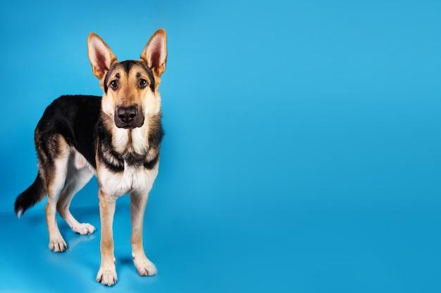 Ritratto di un bellissimo cane da pastore tedesco che staniding su sfondo blu. colpo dello studio. colore grigio e marrone.