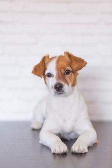 Ritratto di un bellissimo cagnolino sdraiato sul pavimento