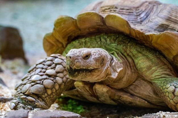 Bella tartaruga del ritratto nella fine dell'erba verde - su.