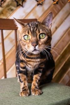Ritratto di razza di gatto bengala