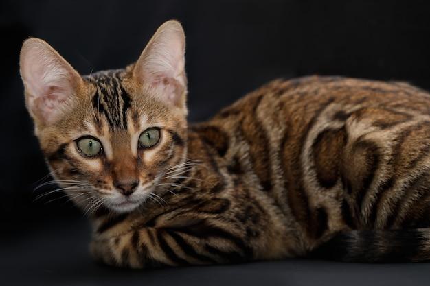 Ritratto del piccolo gatto bengala