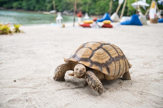 Ritratto di grande tartaruga verde che cammina sulla spiaggia di sabbia bianca con picnic sulla spiaggia