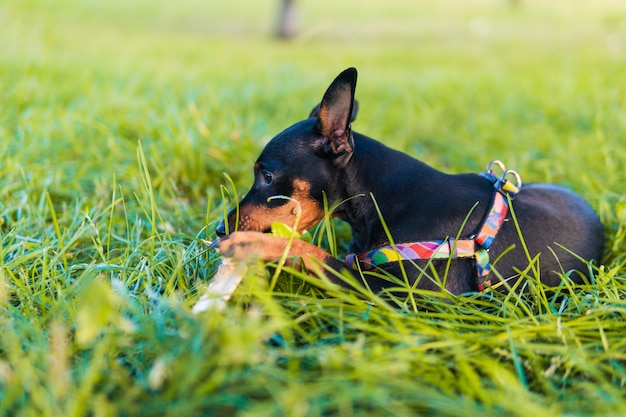 Ritratto di pinscher miniatura nero focato, primo piano, bella giornata estiva. cane carino