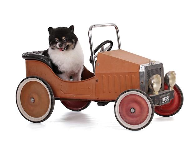 Ritratto di un pomerania nano bianco e nero in una piccola vecchia auto su sfondo bianco