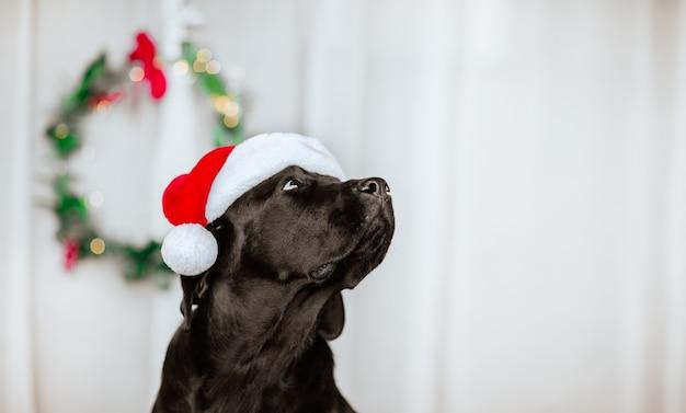 Ritratto di giovane nero labrador retriever nel cappello di babbo natale