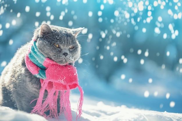 Ritratto di un gatto blue british shorthair che indossa la sciarpa lavorata a maglia all'aperto nella neve in inverno