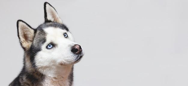 Ritratto di un bel cane husky siberiano sorridente dagli occhi blu isolato su sfondo grigio con spazio di copia