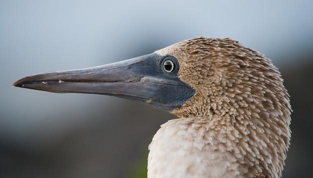 Ritratto di uccello dai piedi blu