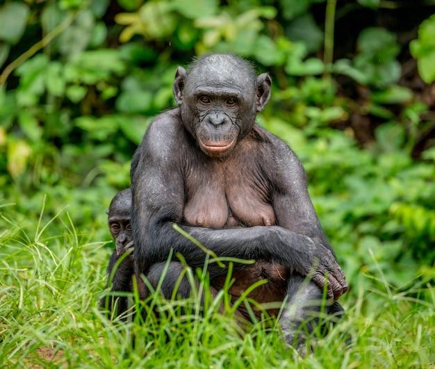 Ritratto di un bonobo in natura