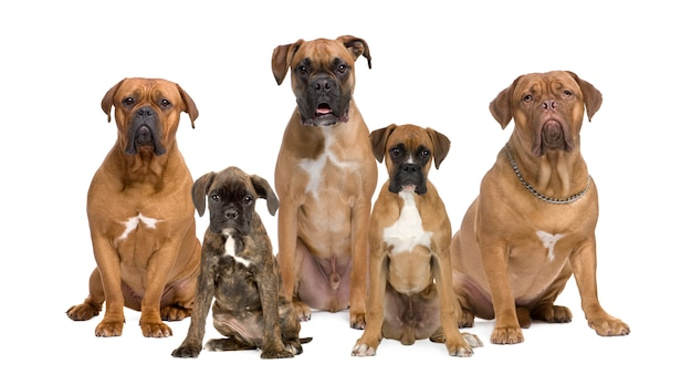 Ritratto di cani boxer in posa insieme