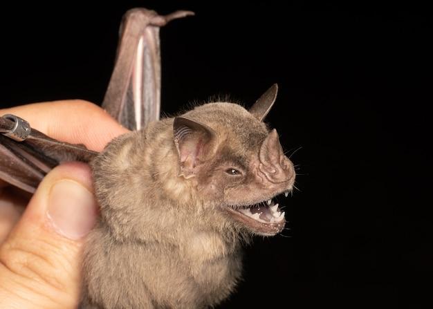 Ritratto di pipistrello brasiliano, pipistrello mangiatore di frutta con frange è una specie del sud america