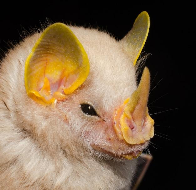 Ritratto di pipistrello brasiliano, macconnell's bat (mesophylla macconnelli).