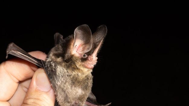 Ritratto di pipistrello brasiliano, pipistrello dal naso peloso a strisce è una specie di pipistrello dell'america meridionale e centrale.