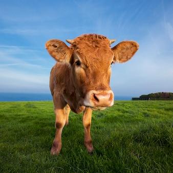 Ritratto di mucca marrone in normandia, francia.