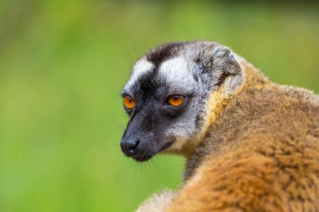 Un ritratto di un maki marrone, un primo piano di un lemure divertente