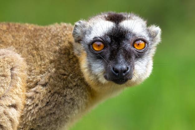 Ritratto di un maki marrone, un primo piano di un lemure divertente
