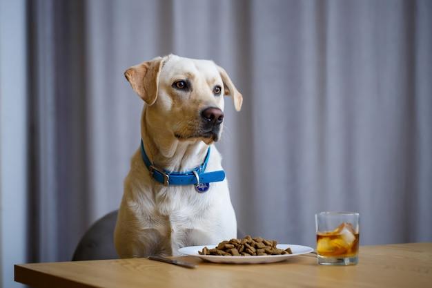 Ritratto di un grande cane aziendale di razza labrador di pelo leggero, seduto su una sedia vicino al tavolo da pranzo, un piatto con cibo, animali domestici