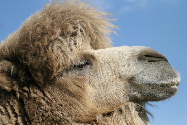 Ritratto di un cammello nel cielo