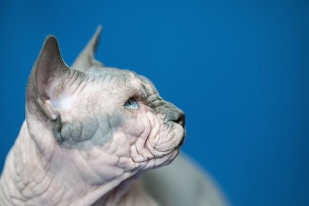 Ritratto di gatto canadese sphynx razza di gatto noto per la sua mancanza di pelo