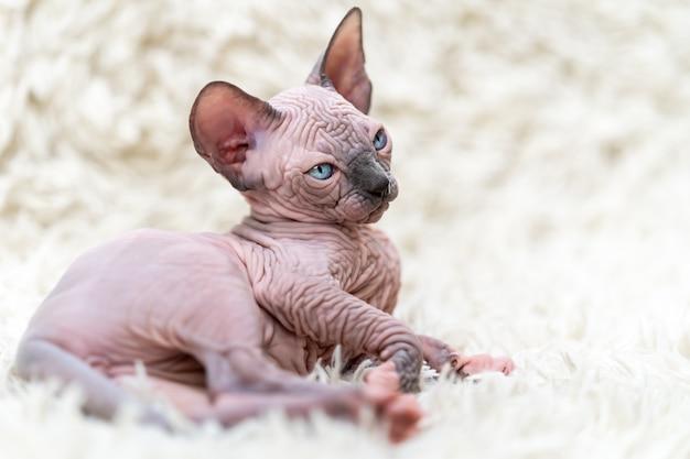 Ritratto di gatto sphynx canadese gattino e distoglie lo sguardo sdraiato su sfondo bianco tappeto a pelo lungo