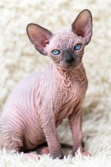 Ritratto di gatto sphynx canadese gattino con grandi occhi azzurri che guarda l'obbiettivo seduto sul tappeto bianco