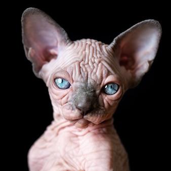 Ritratto di gattino sphynx canadese con grandi occhi azzurri su sfondo nero