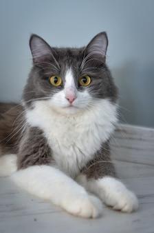 Ritratto di un gatto sdraiato sul pavimento e guardando la telecamera