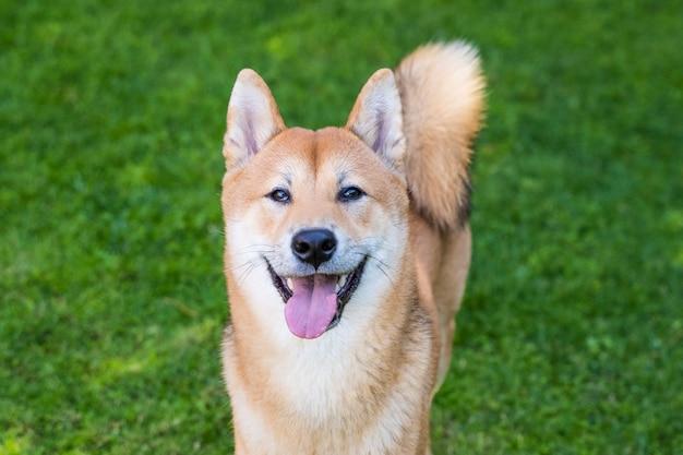 Ritratto del cane allegro di inu di shiba con la lingua fuori