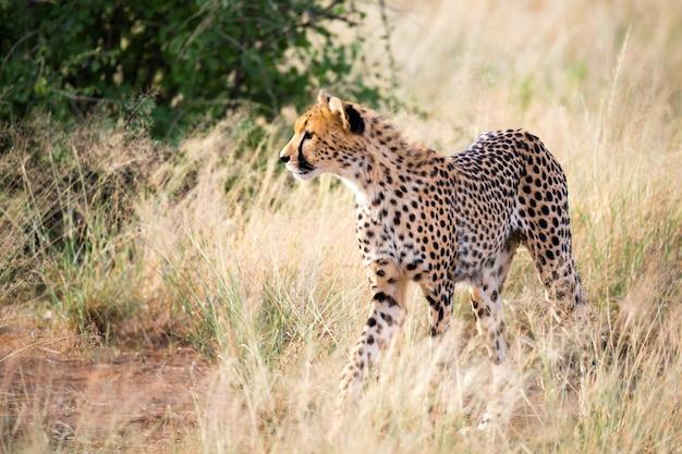 Un ritratto di un ghepardo nel paesaggio erboso
