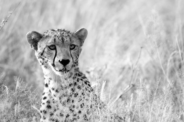 Ritratto di un ghepardo nel paesaggio di erba