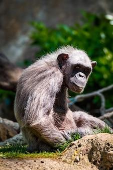 Ritratto di uno scimpanzé