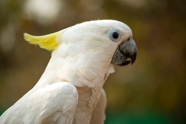 Ritratto del pappagallo di cacatua, primo piano bianco della testa del pappagallo di cacatua dalla cresta gialla