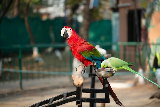 Ritratto del pappagallo variopinto dell'ara macao con il pappagallo verde in zoo che mangia le nocciole