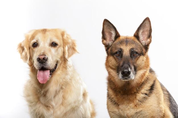 Ritratto di un paio di cani espressivi, un cane pastore tedesco e un cane golden retriever su sfondo bianco