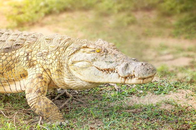 Ritratto del predatore del rettile del coccodrillo con i denti affilati e l'occhio giallo luminoso che cammina nella savanna