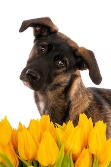 Ritratto di un cane incrocio con tulipani gialli.