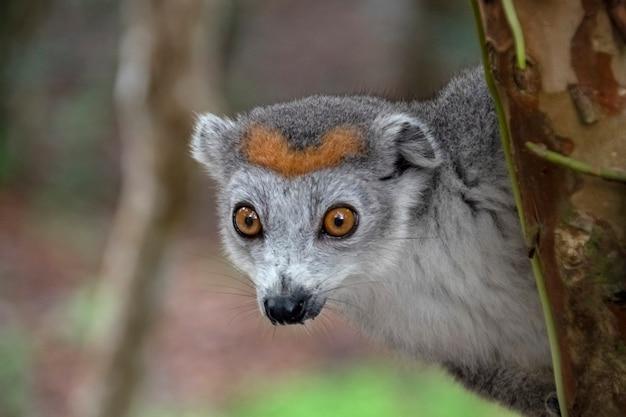 Lemure incoronate ritratto. il lemure incoronato, o lemure mangusta incoronata, è un primate della famiglia dei lemuri. endemico del madagascar. africa