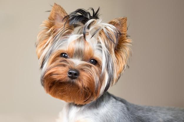 Ritratto di un simpatico cane. yorkshire terrier