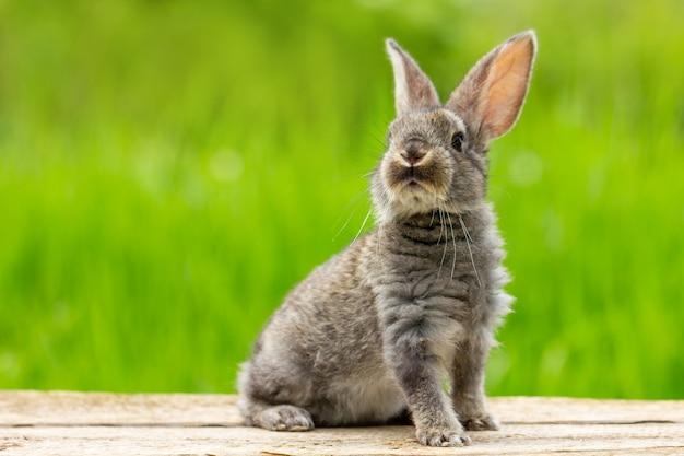Ritratto di un simpatico coniglio grigio lanuginoso con le orecchie