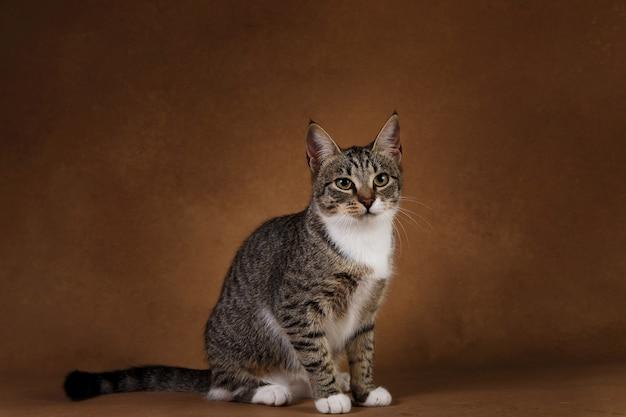 Ritratto di un simpatico gattino a strisce grigio e bianco seduto su sfondo marrone