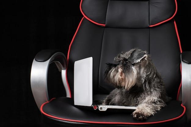 Ritratto di un simpatico cane schnauzer miniatura seduto su una sedia da ufficio e guardando un laptop su uno sfondo nero