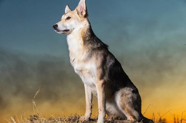 Ritratto di simpatico cane da pastore di razza mista a piedi sul campo nel tramonto
