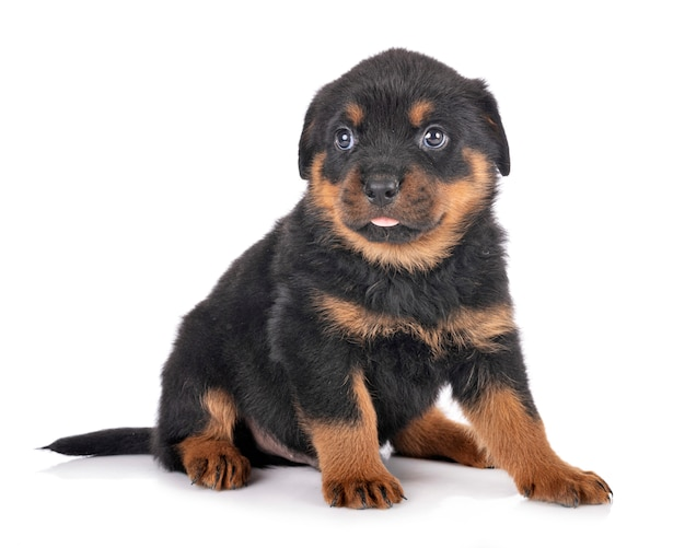 Ritratto di un simpatico cucciolo di rottweiler