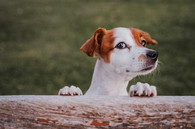 Ritratto di piccolo jack russell terrier sveglio che sta su due zampe sull'erba in un parco