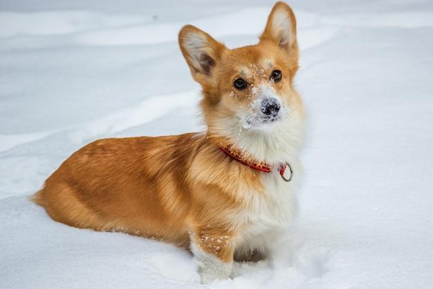 Ritratto di un simpatico cucciolo di welsh corgi pembroke seduto sulla neve in inverno