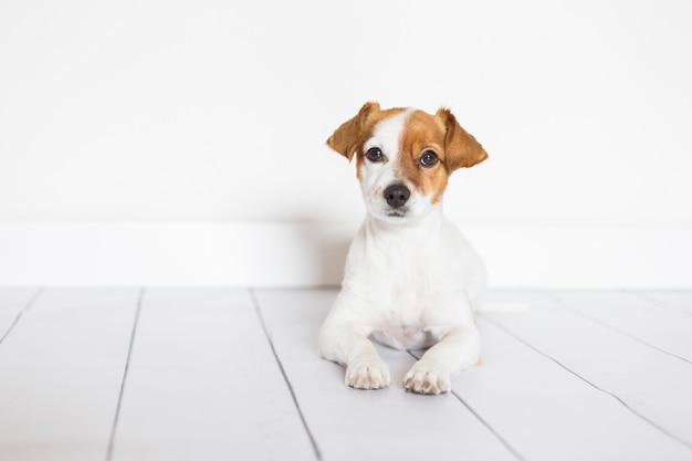 Ritratto di un simpatico cagnolino sdraiato sul pavimento di legno bianco,