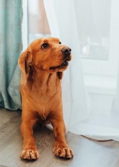 Ritratto di un cane di razza cocker spaniel inglese, a casa